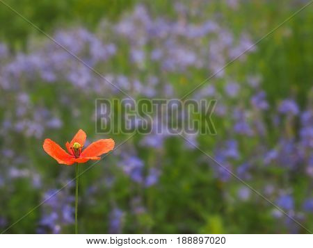 One poppy in a field of violet flowers be different natural concept background