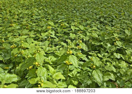 Dense Population Of Lamium Galeobdolon, Known As Yellow Archangel