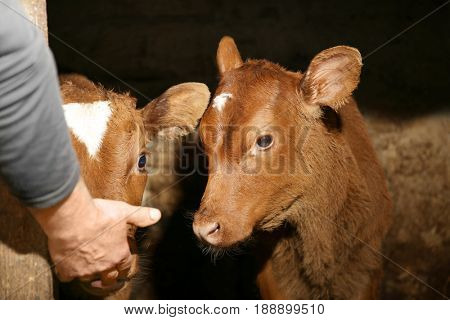 Cute calf in cowshed licking male hand