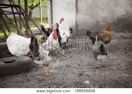 Domestic chickens and cocks outdoors
