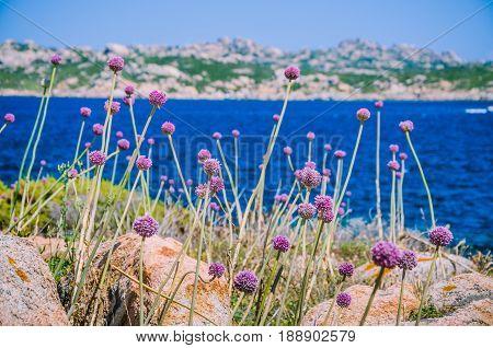 Wild onion leek growing between granite rocks on beautiful Sardinia island . Blue see and an other island on background, Sardegna, Italy.