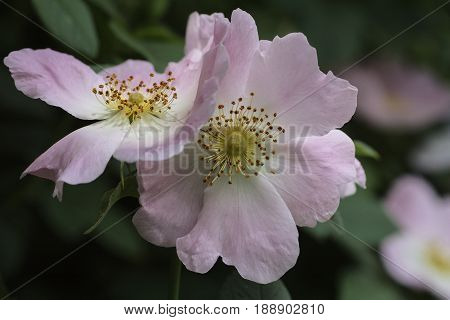 flowering Dogrose pink flowers petals and stamens close-up