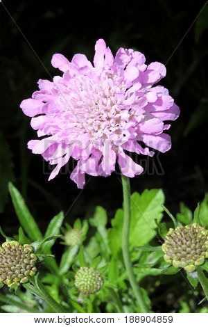 Scabious 'Kingfisher Blue' a common perrenial garden flower plant growing throughout spring summer and autumn