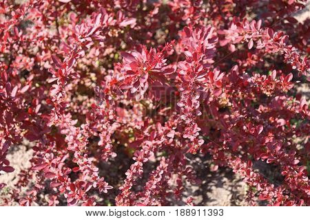 Decorative berberis thunbergii with red leaves in the garden