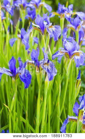 Irises . Close-up of iris flower. Blue flower irises- nature spring sunny background.