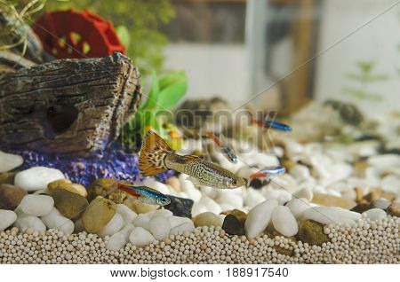 Guppy Fish And Neon Tetra Paracheirodon In Aquarium