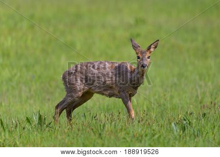 Portrait Of One Young Female Roe Deer Standing In Meadow