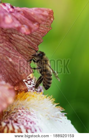 Closeup flower with bee. Honey bee on a flower closeup. Closeup iris flower with bee. Meadow in may with bee on flower