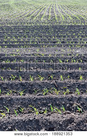 Corn field seeded with no-till technology in early summer closeup view