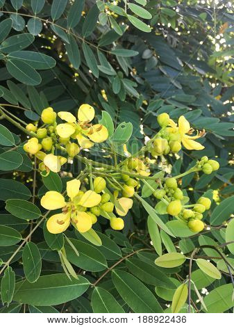 yellow senna siamea flower in nature garden