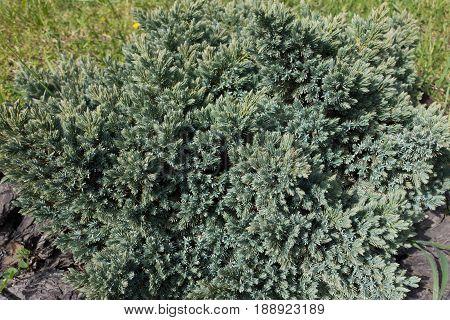 Small Coniferous Evergreen Shrub Of Juniperus Squamata In The Garden
