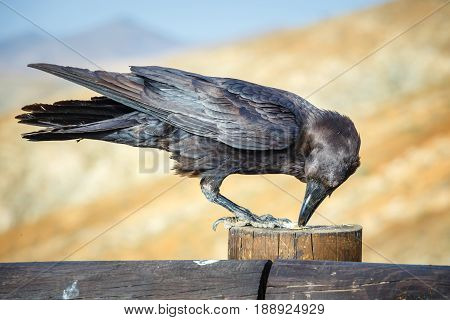 Common Raven Sitting On A Wooden Beam, Close Up
