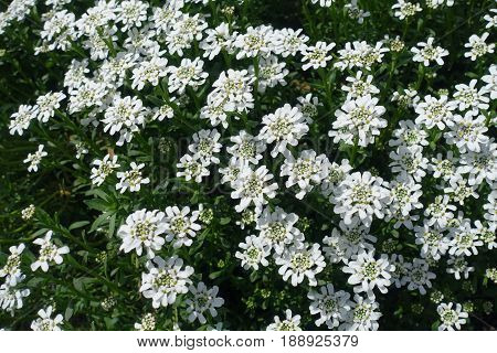 White Flowers Of Evergreen Candytuft In Spring