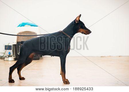 Portrait of purebred doberman posing. Black dog