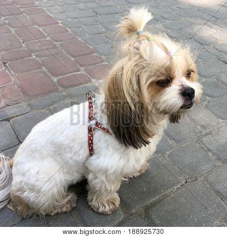Shih tzu dog on the pavement (chinese lion dog)