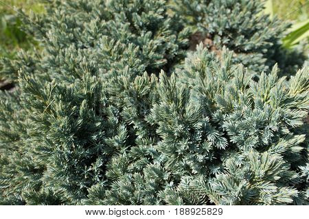 Branches Of Himalayan Juniper With Bluish Green Needles