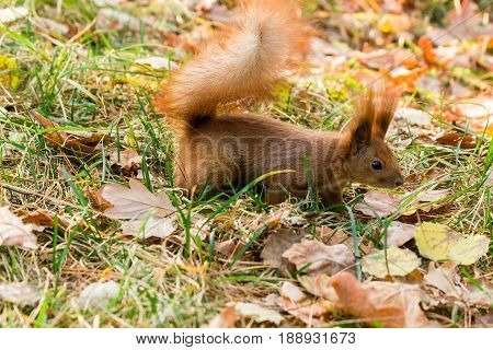 Quick Squirrel In The Search For Nuts