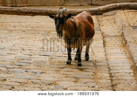 Goat is brown with horns . . .