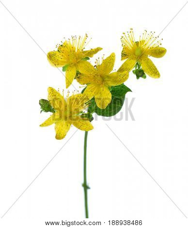 Close-up on flowers of Saint John's wort (Hypericum perforatum),  isolated on white background.
