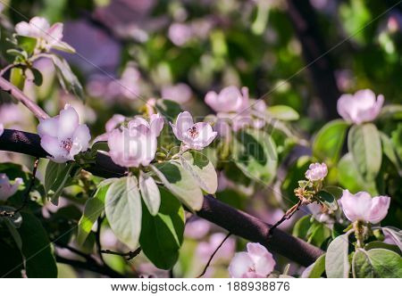 White Apple Flowers. Beautiful flowering apple trees. Background with blooming flowers in spring day with bee.