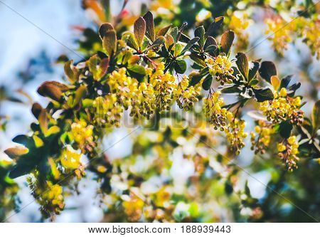 Barberry blossoms in the garden. Blossom barberry. Beautiful yellow flower with bee. Beautiful yellow flowers of barberries on bush. Branch of a blossoming barberry.
