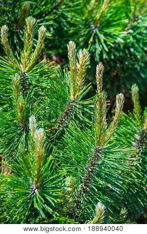 Young shoots of pine trees in the forest spring. Young spring spruce tree blossoms. New fir branch in spring close up.
