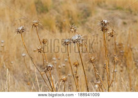Dried Thistle prickly flower heads growing in meadow with blurred golden yellow background during Autumn in Tasmania, Australia