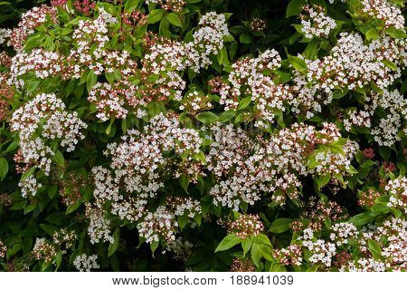 Small white flowers with pink buds of Viburnum tinus blossoming inTasmania, Australia