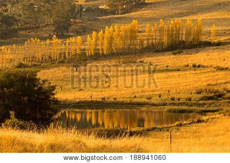 Tall and thin Poplar trees turning to Autumn golden yellow color with reflection on pond during sunset in Tasmania, Australia