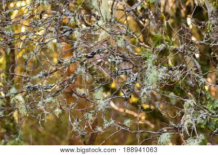 Lots of pale grayish green Old man's beard fruticose lichen, Usnea, tree moss hanging on branches in forest at Cradle mountain, Lake St Clair National Park in Tasmania, Australia
