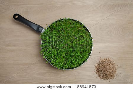 the photo pans with sprouted wheat grains