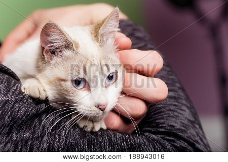 cat or kitten domestic animal with blue eyes whiskers and furry fluffy coat sitting in human arms on blurred background. Pet care and veterinarian