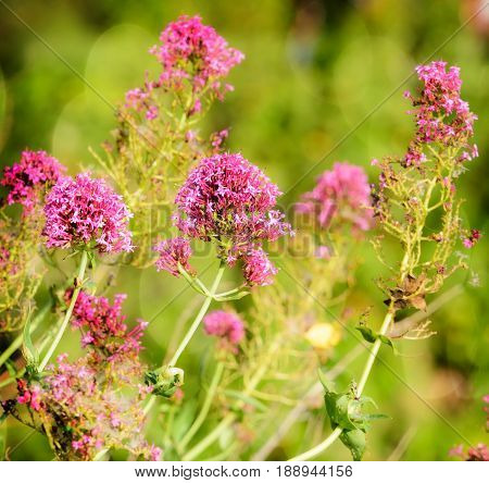 Pink wildflowers with bokeh and soft vignette