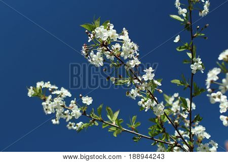 White flowers on sakura branches against the background of a bright blue sky