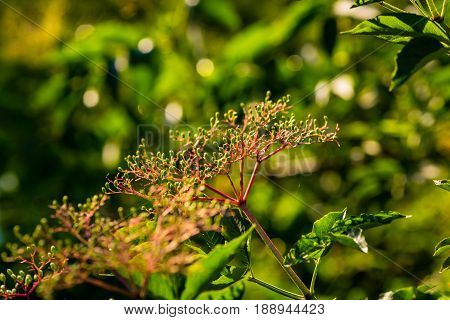 an Elderberry bush blossoms before they bloom at dawn
