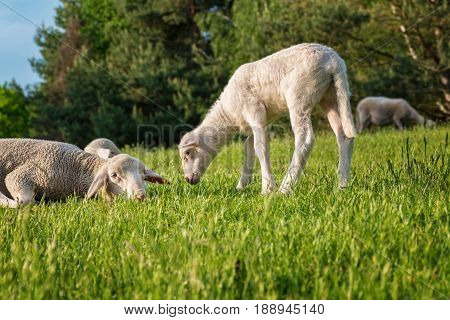 White Lamb With Its Mother - Eating Grass