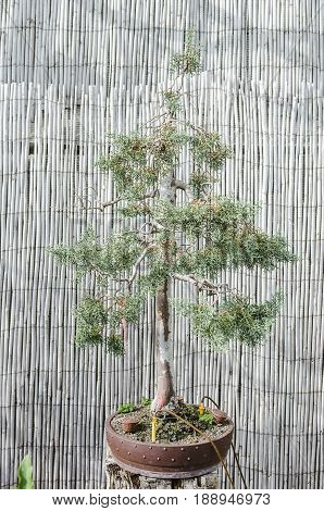 Bonsai Tree In A Pot, Pine Bonsai