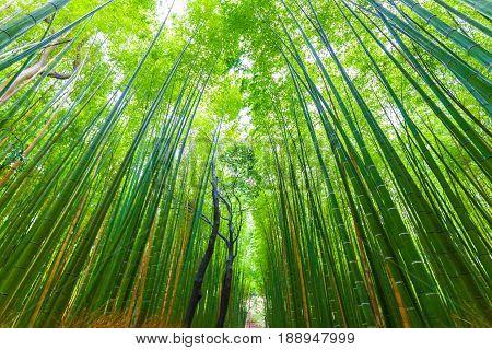 Arashiyama Bamboo Forest Green Background In Kyoto