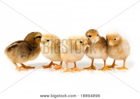 group of chicks on white background