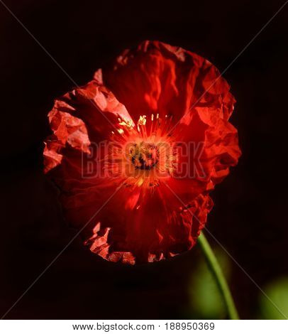Red poppy flower against a dark background with backlighting