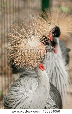 Gray Crowned Crane close up . . .