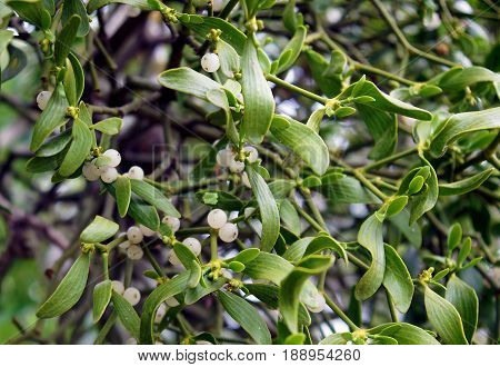 Parasitic european mistletoe or common mistletoe (Viscum album) on a tree branch in early spring