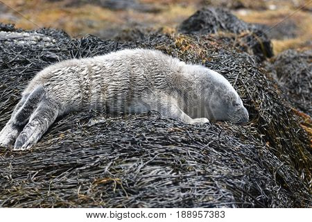 Cute sleeping baby harbor seal in Casco Bay Maine.