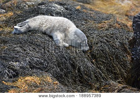 Adorable seal pup napping on a bunch of seaweed in Maine.