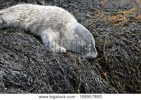Cute fuzzy gray harbour seal pup on seaweed in Maine.