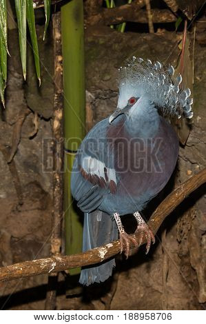 A Victoria Crowned Pigeon at the Central Park Zoo in New York City.