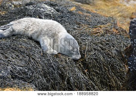 Cute baby seal on rocks covered in seaweed in Maine.