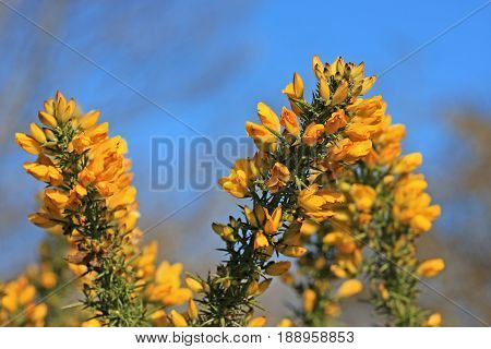 flowers on a gorse bush in spring