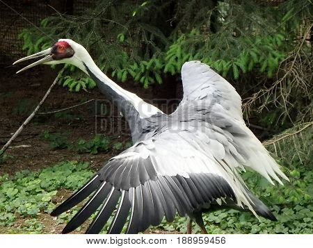 White-naped crane , ( Grus vipio )