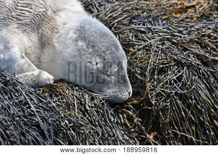 Sleeping gray harbor seal resting on seaweed in Casco Bay.